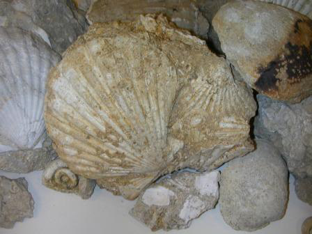 Moon Snail from Pliocene Beach 2